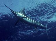 海中畅游的长剑鱼图片