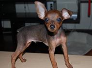 小鹿犬幼犬机灵可爱图片