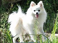 白色狐狸犬调皮可爱图片