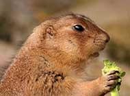 草原土拨鼠户外生活高清图片