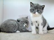 蓝白英短猫可爱幼崽图片