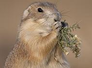 爱偷吃的地鼠图片