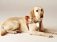 警犬拉布拉多犬趴着图片