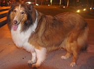 巨型苏格兰牧羊犬夜晚散步图片