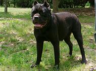 肌肉发达的狗卡斯罗犬图片欣赏