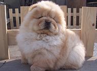 松狮犬幼犬打瞌睡搞笑图片