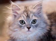 可爱的波斯猫图片萌死人