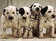 小型大麦町犬可爱写真图片