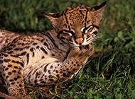 真正的纯野生豹猫卖萌图片大全
