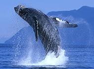 虎鲸鱼海平面跳跃图片