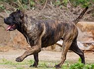 加纳利犬机警走路图片