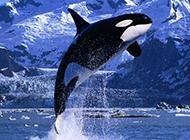 可爱的鲸鱼海洋飞跃图片