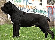 意大利的纯种卡斯罗犬图片欣赏