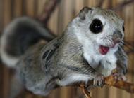 可爱宠物小飞鼠图片