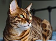 中国家养豹猫图片欣赏
