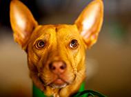 警惕而活跃的法老王猎犬图片