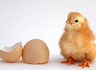超萌可爱的小鸡出生图片