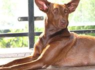 大型法老王猎犬姿态优雅图片
