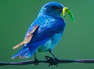 蓝色知更鸟吃虫子图片