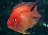 漂亮的红鹦鹉鱼图片欣赏