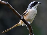 机灵敏捷的黑伯劳鸟图片