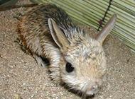 毛发浓密的长耳跳鼠图片