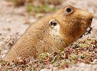 中华鼢鼠野外捕食图片