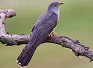 鸣声不绝的鸟类布谷鸟图片