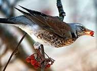 可爱机灵的画眉鸟图片