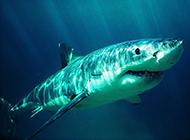 大白鲨鱼高清特写图片素材