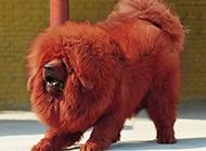 藏獒犬表情发狠图片
