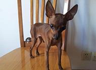 小鹿犬可爱幼犬呆萌眼神图片
