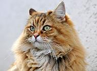 虎斑色波斯猫图片神气十足