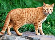 好看的中华田园猫行走图片