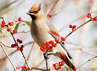 体态优美的小太平鸟图片