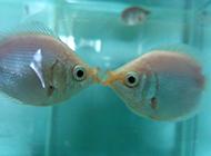 接吻鱼唯美图片可爱至极