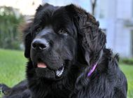 可爰纽芬兰犬草地歇息图片