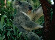 性格温和的澳大利亚考拉组图