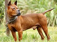表情凶猛霸气的川东猎犬图片