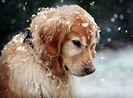 网友提供海量金毛犬图片