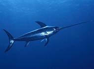 上颌尖长的银剑鱼图片