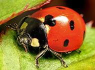 有益昆虫可爱七星瓢虫图片