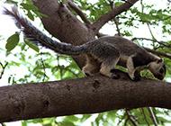 海南巨松鼠林中觅食图片