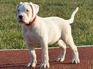 安静的狗狗阿根廷杜高犬图片