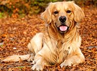 趴在地上的成年母金毛寻回犬图片
