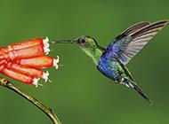 最小蜂鸟吸食花蜜图片