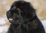 忧郁犯傻的小纽芬兰犬图片