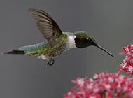 空中飞翔的普通蜂鸟图片