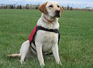 身材健壮的纯种拉布拉多犬图片