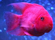 红血鹦鹉鱼图片高清壁纸